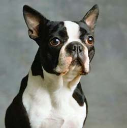 boston-terrier2.jpg
