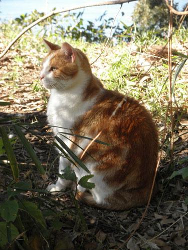 江ノ島の猫1