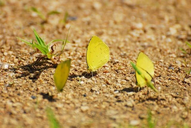 黄蝶の水分補給