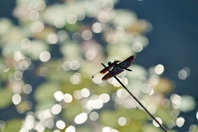 蝶トンボ1