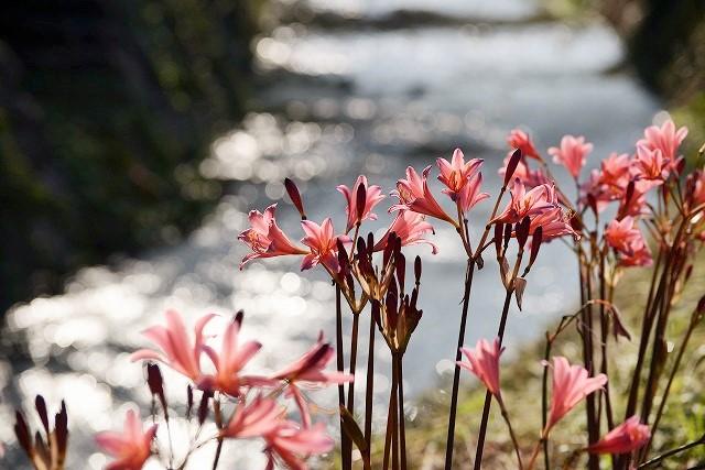 川沿いに咲くリコリス1