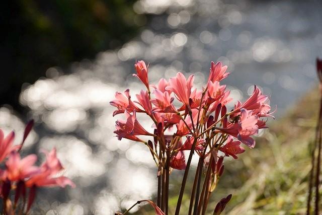 川沿いに咲くリコリス2