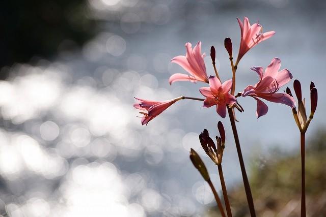 川沿いに咲くリコリス3
