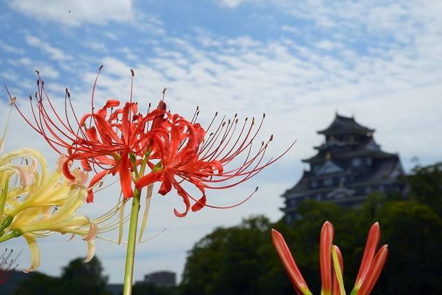 お城を背景にに紅白の彼岸花4