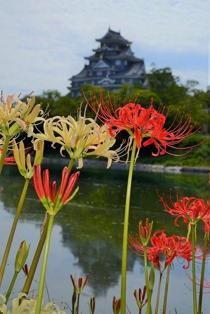 お城を背景にに紅白の彼岸花5