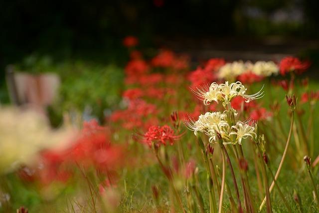 お城を背景にに紅白の彼岸花15