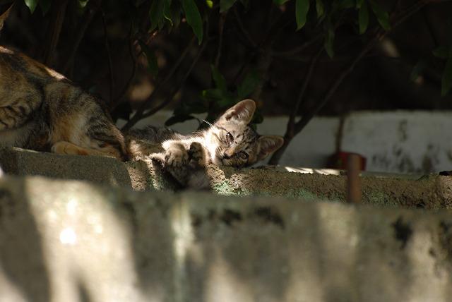 親のしっぽにじゃれる子猫1