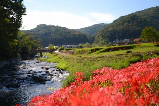 加茂川の水辺の彼岸花1