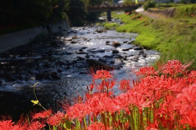 加茂川の水辺の彼岸花2