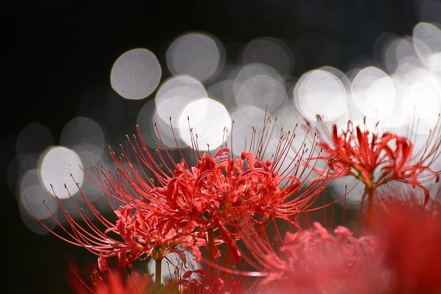 加茂川の水辺の彼岸花3