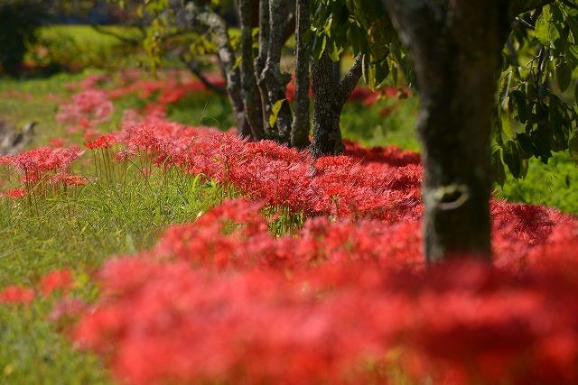 加茂川の水辺の彼岸花6