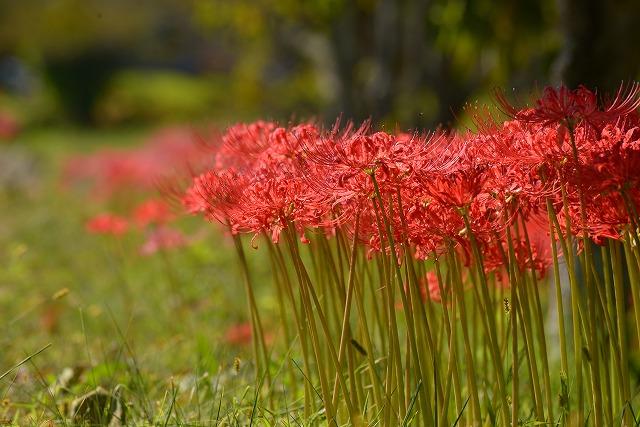 加茂川の水辺の彼岸花