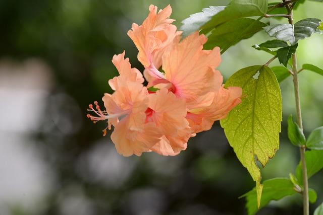 オレンジフラミンゴ1