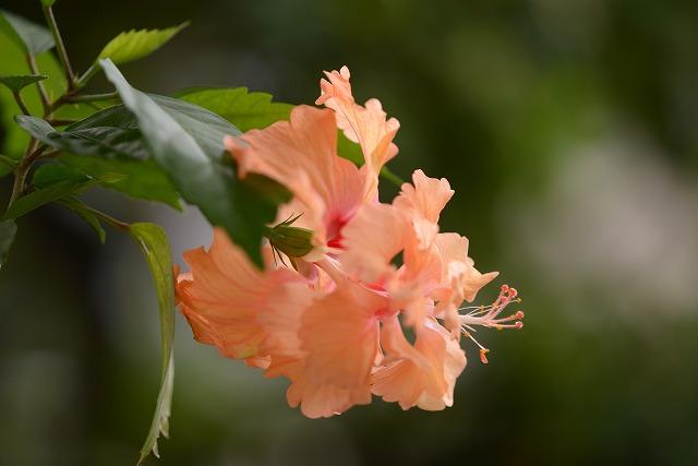オレンジフラミンゴ2