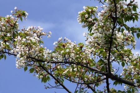 崇禅寺の桜