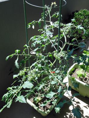 トマト0706-1