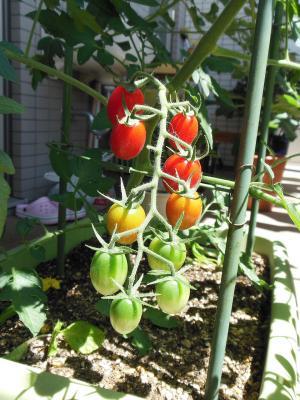 トマト0706-2