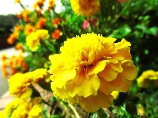 黄色い花_ブログ