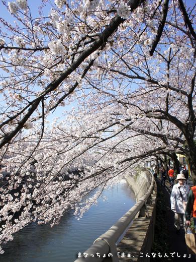 2012年真間川の桜