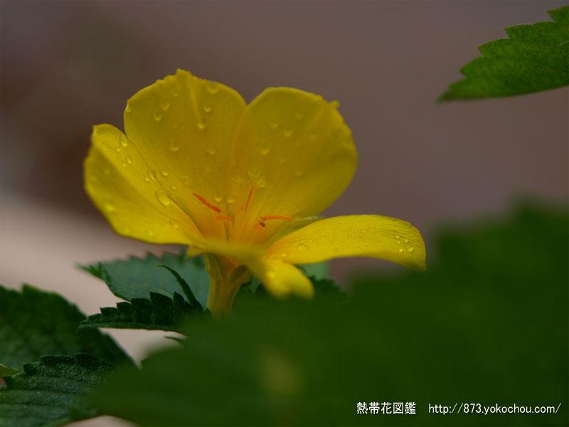 雨季のイェローアルダー