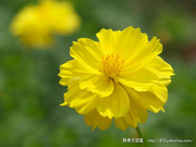 黄色いキバナコスモス