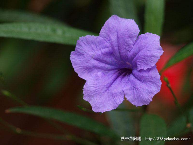 鉢植えの柳葉ルイラ草