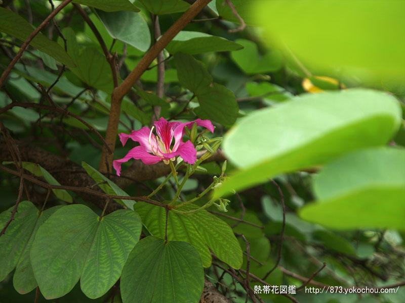 ビエンチャンの香港蘭