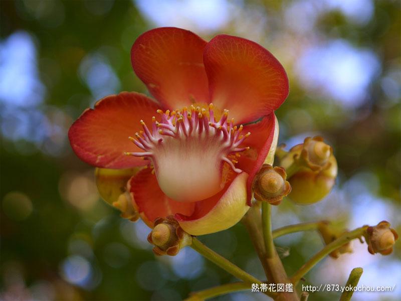 雨季は明けの砲丸の木の花