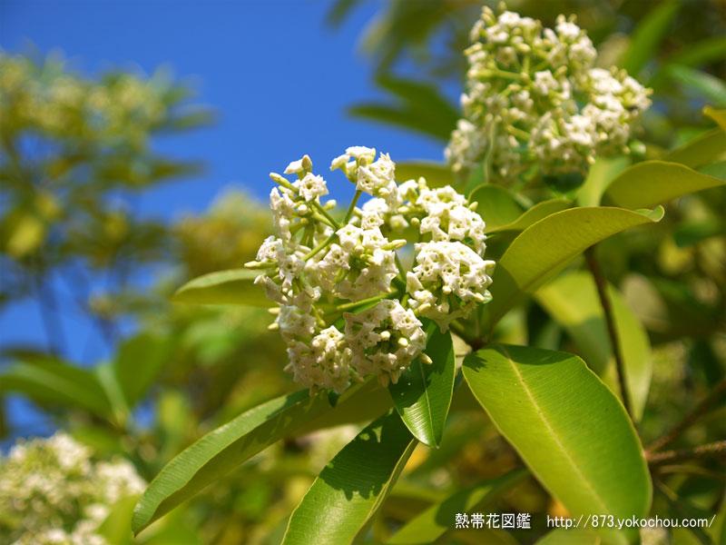 七葉樹の花