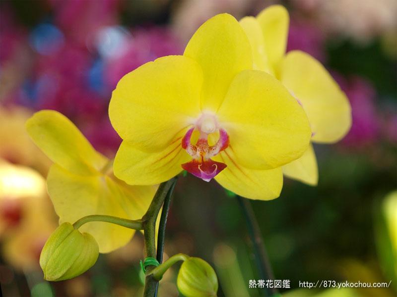 レモン色の胡蝶蘭