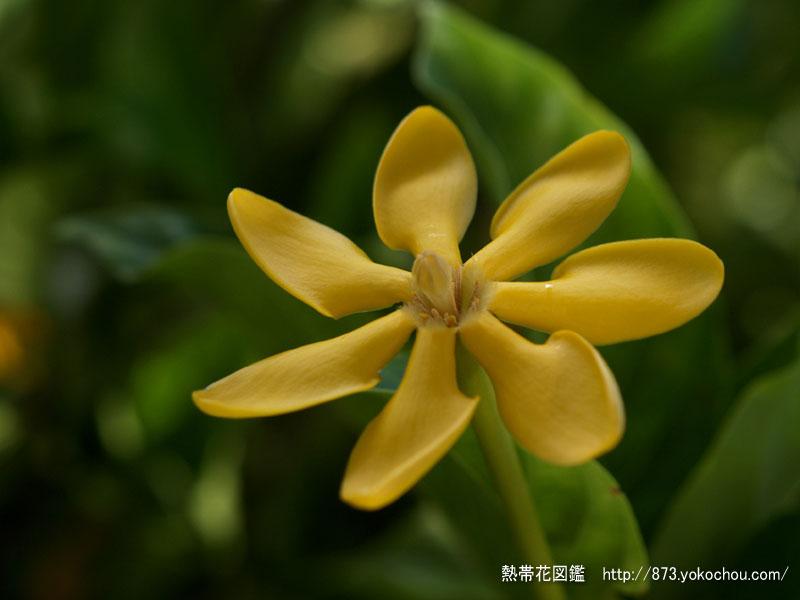 黄花クチナシ