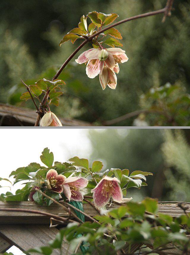 冬咲きクレマチス