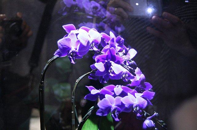 青い胡蝶蘭1