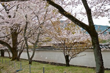 2012_sakura-2.jpg