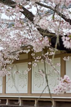 2012_sakura-5.jpg