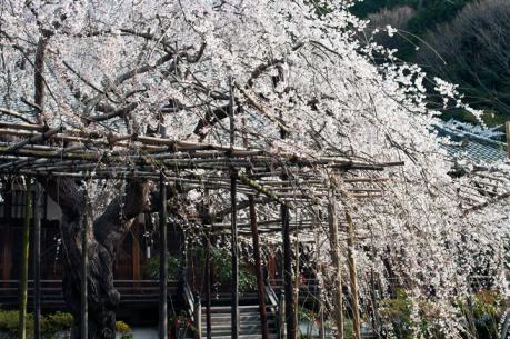 2012_sakura-8.jpg