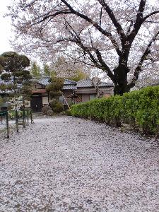 桜の絨毯_copy