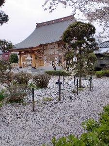 桜の絨毯2_copy