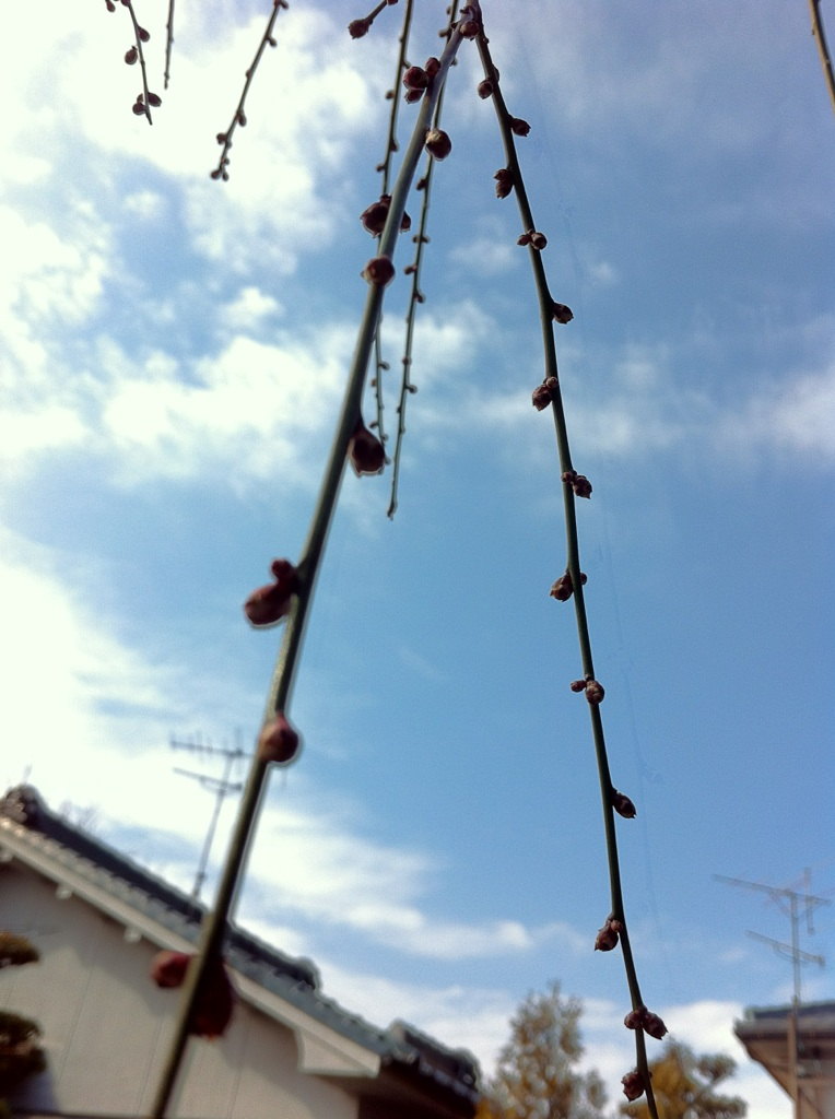 IMG_8005枝垂れ梅の蕾