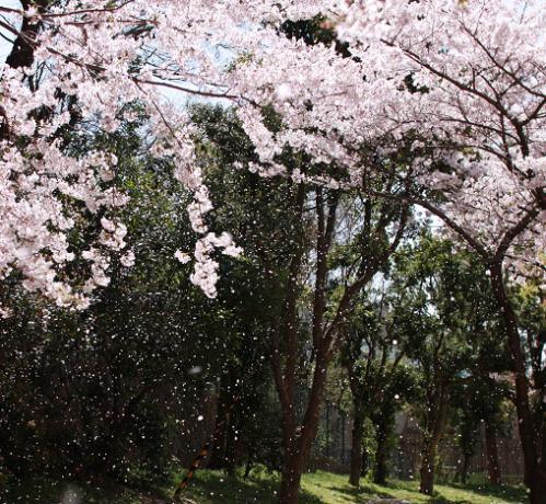 宇治川沿いの桜