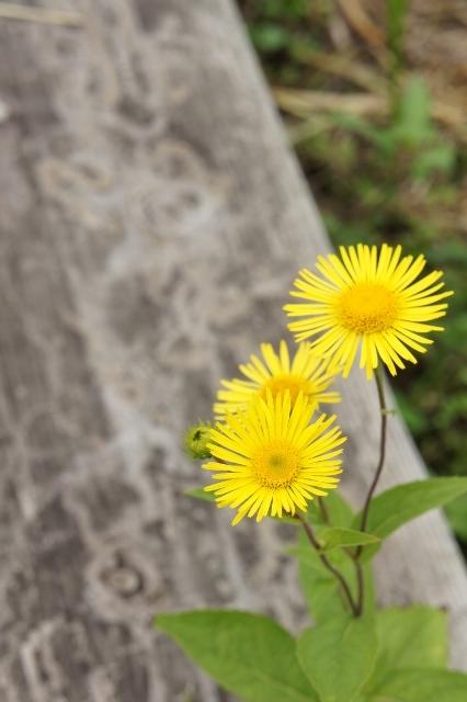 もめん弥 黄色い花
