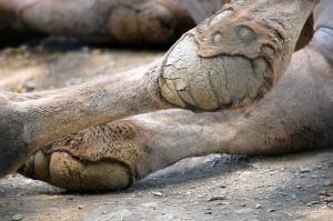 ラクダの膝