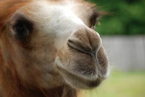 ラクダの鼻の穴