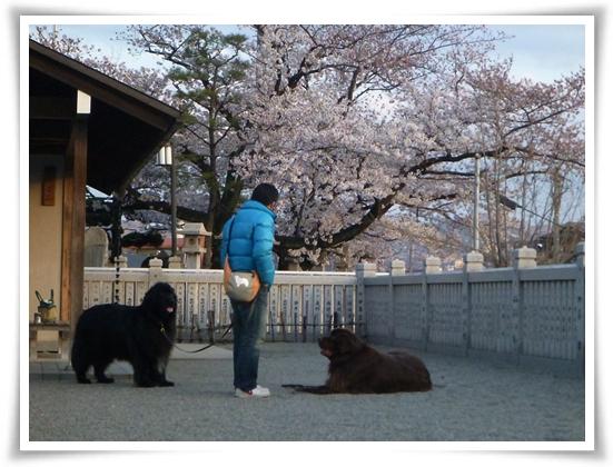 2012_0407sakura0039.jpg