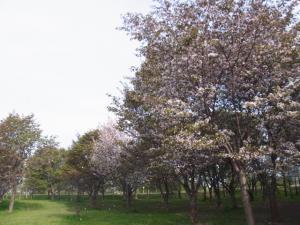 130526モエレ沼公園桜
