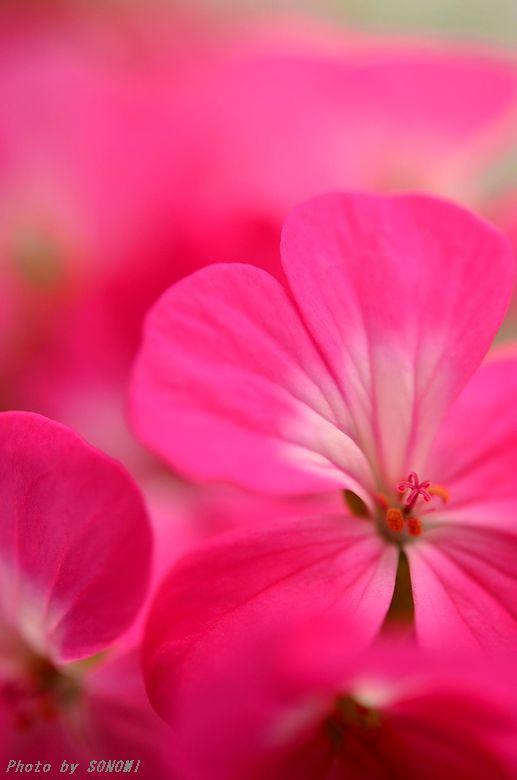 ゼラニウム ピンク