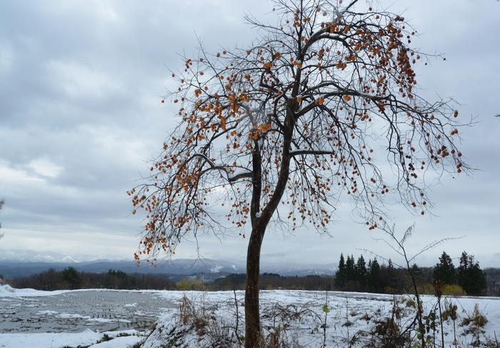 冬の柿-1