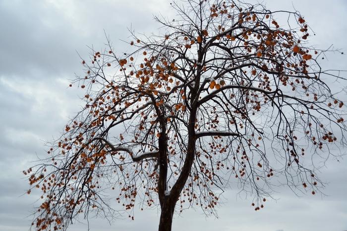 冬の柿-3