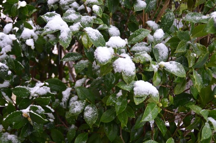 庭木の雪-1