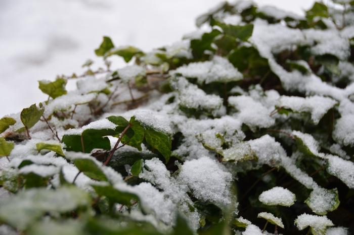 庭木の雪-2